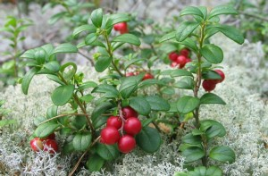 06-11-13_Lingonberries_2